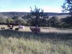More Cows.